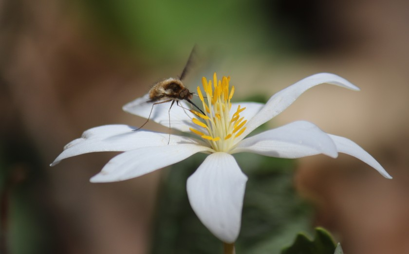 Greater bee fly on bloodroot