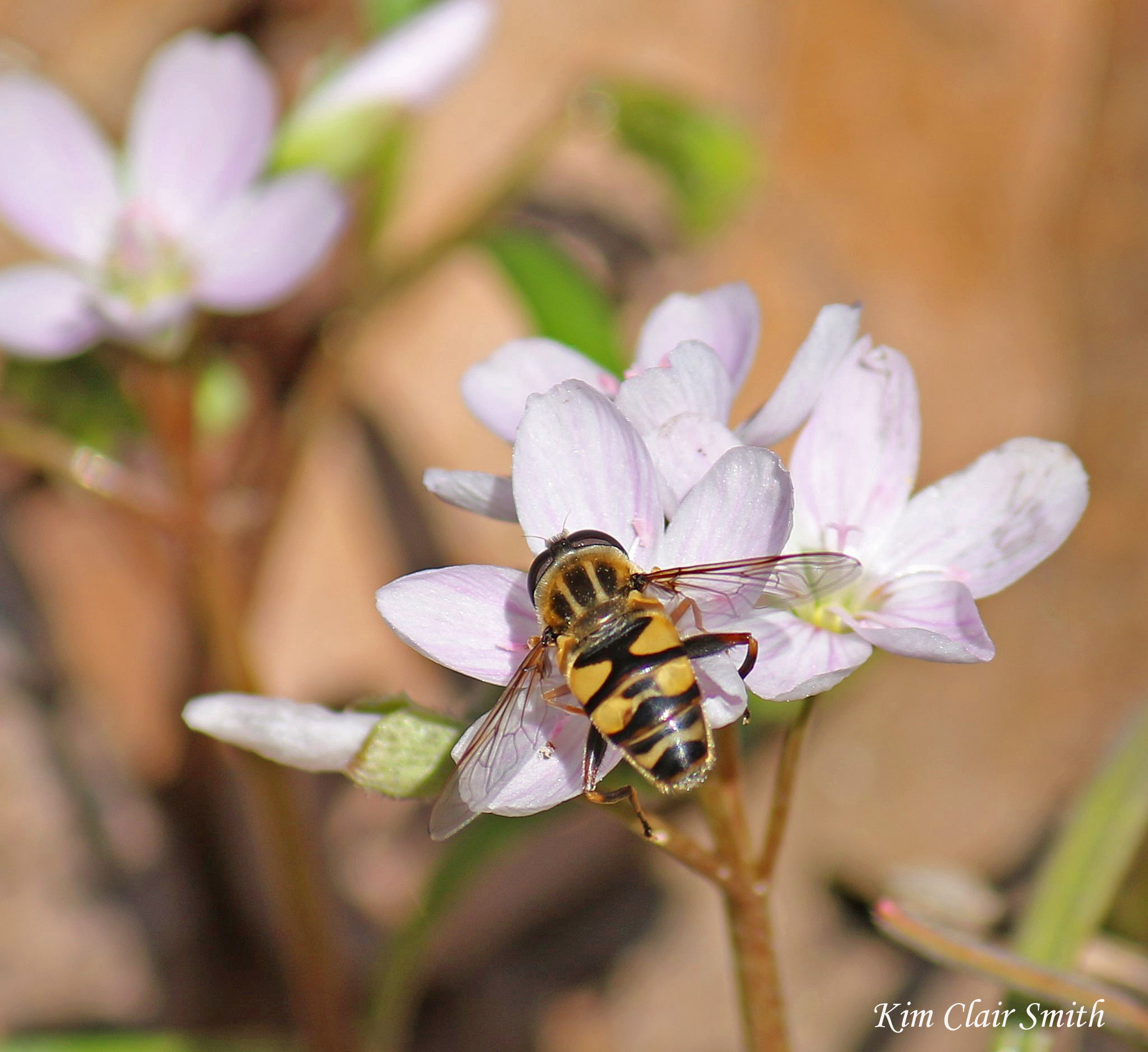 Helophilus fasciatus on Spring Beauty - blog