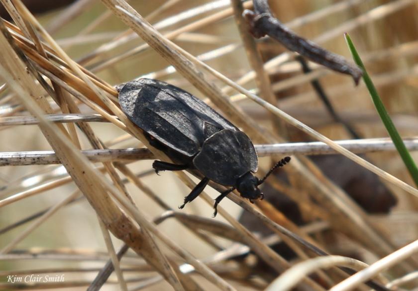 Ridged carrion beetle - blog