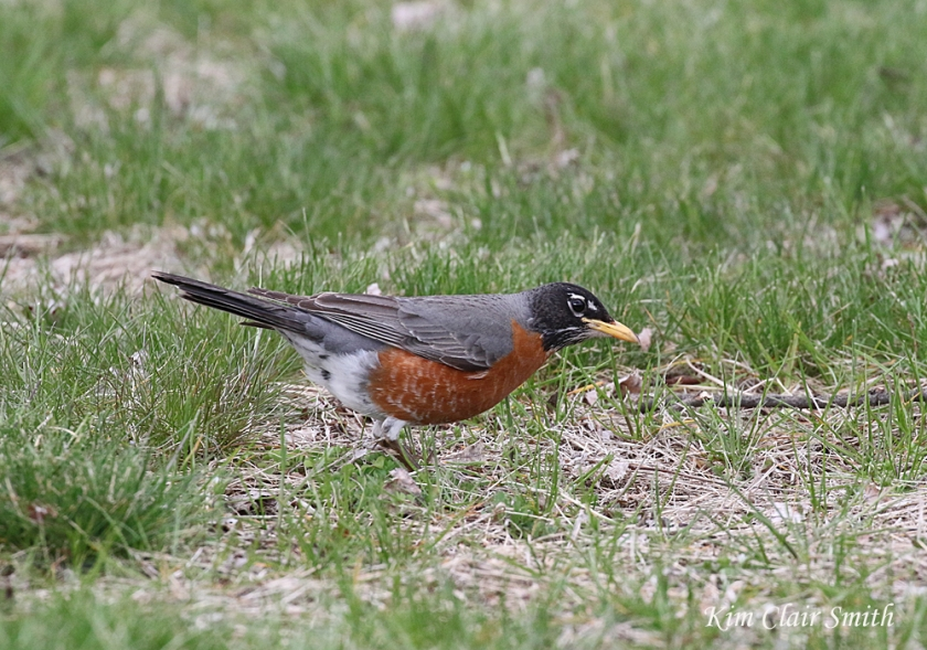 Robin with head cocked listening - blog 2