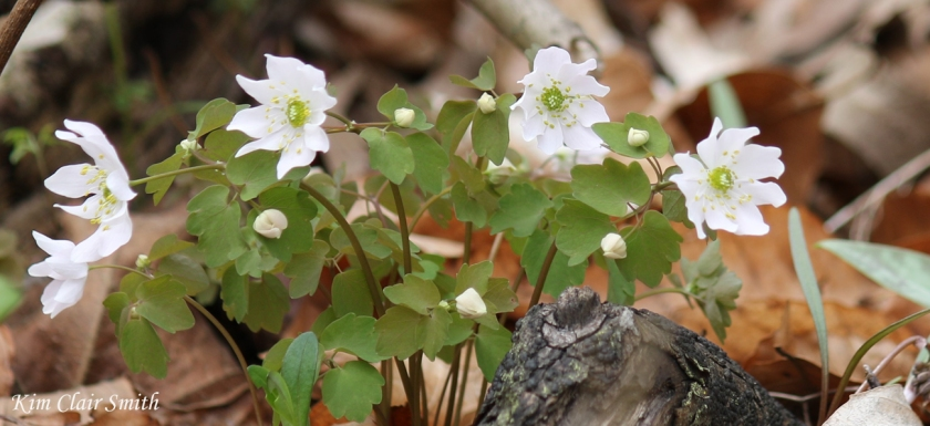 Rue anemone cropped - blog