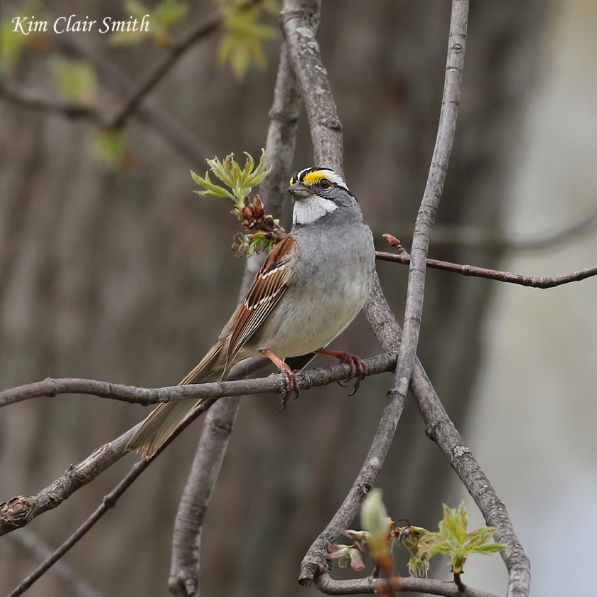 White-throated sparrow in maple tree w sig - blog