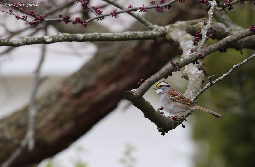 White-throated sparrow in redbud tree