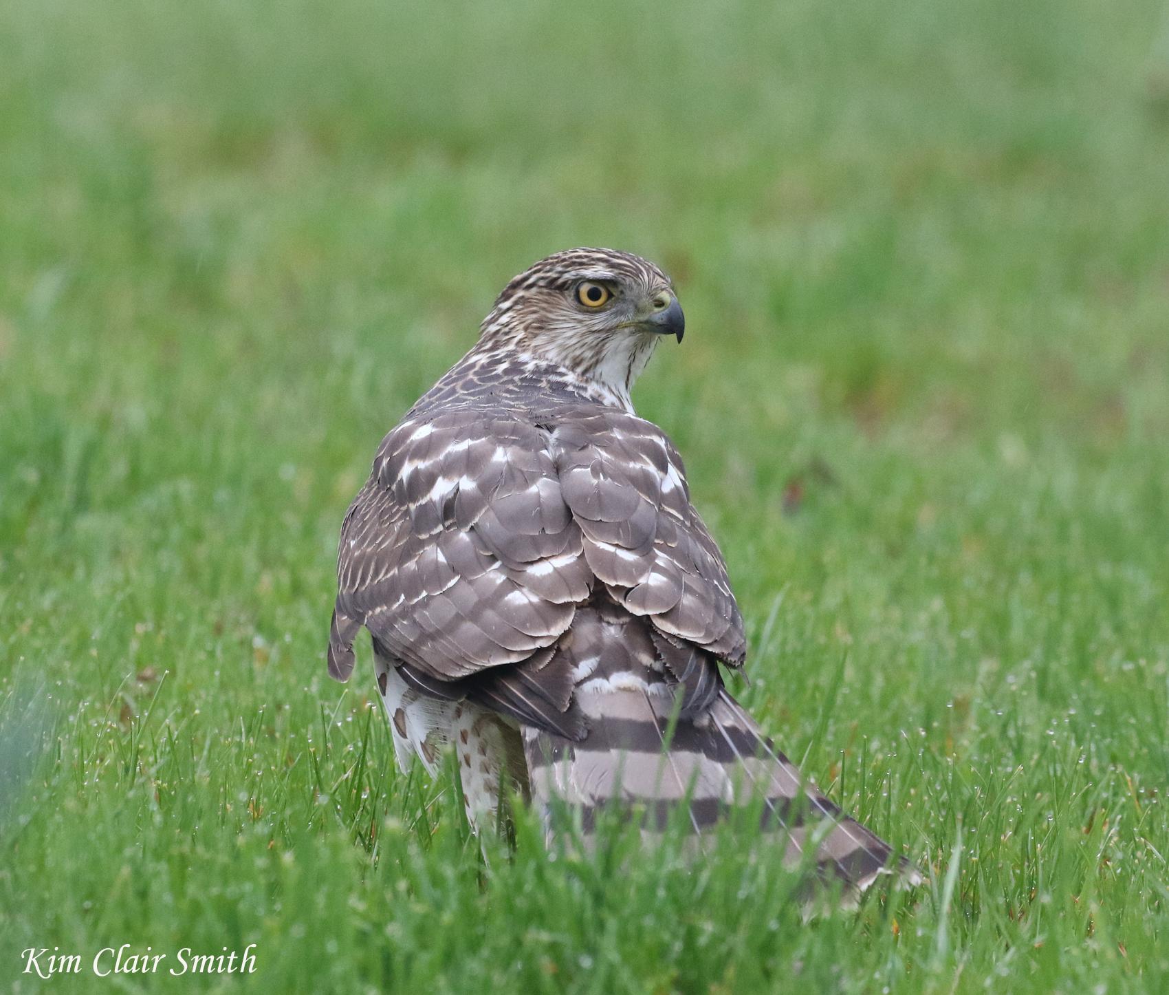 Cooper's hawk with prey v2