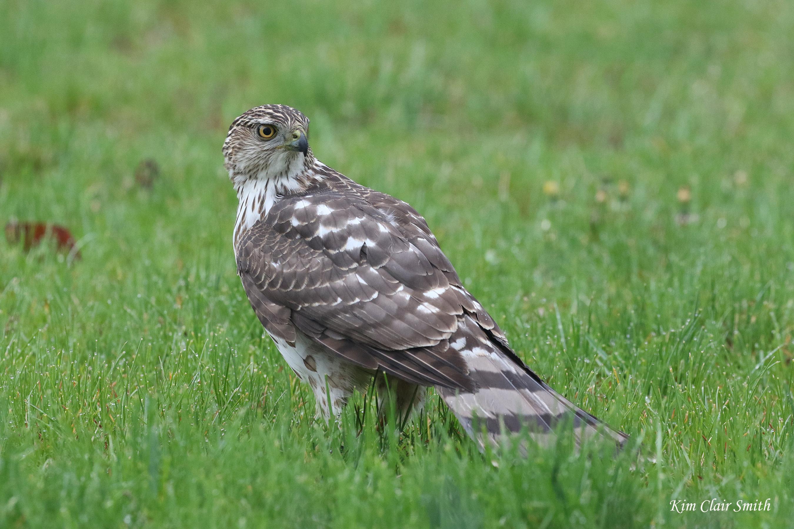 Cooper's hawk with prey v3