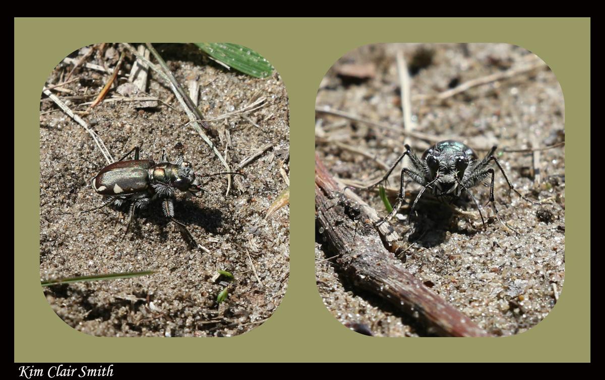Festive tiger beetle - blog