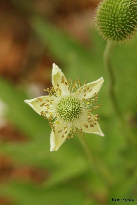 Anemone virginiana - tall thimbleweed