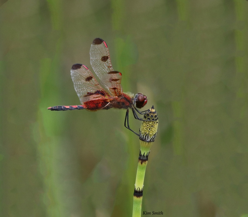 Calico pennant with background blurred - w sig