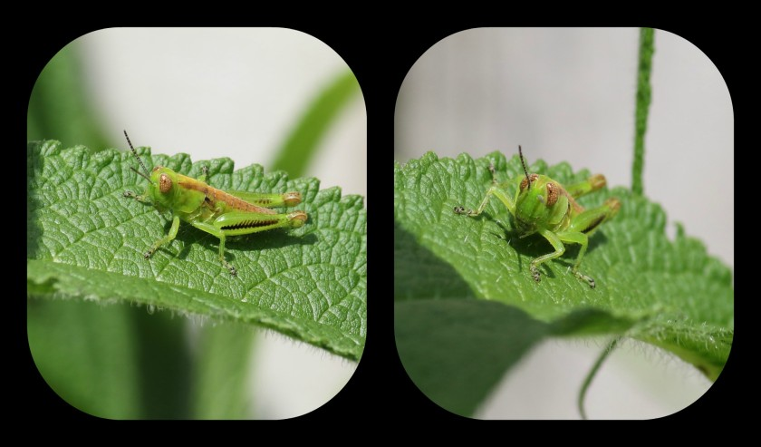 grasshopper collage
