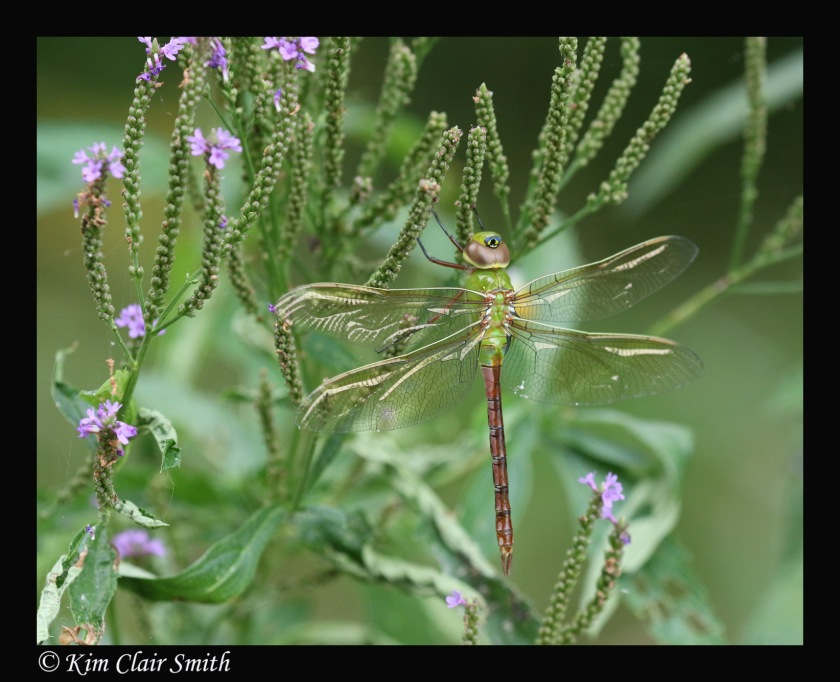 Green darner on blue vervain