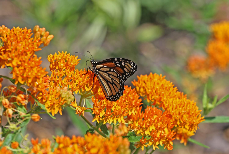 Monarch on butterfly milkweed