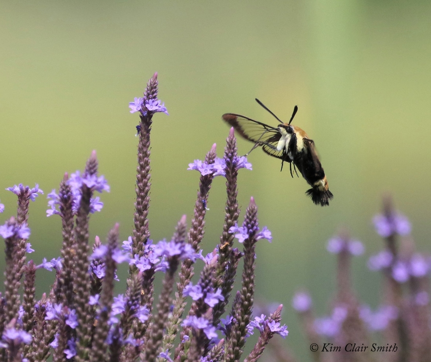 Snowberry clearwing moth feeding on blue vervain