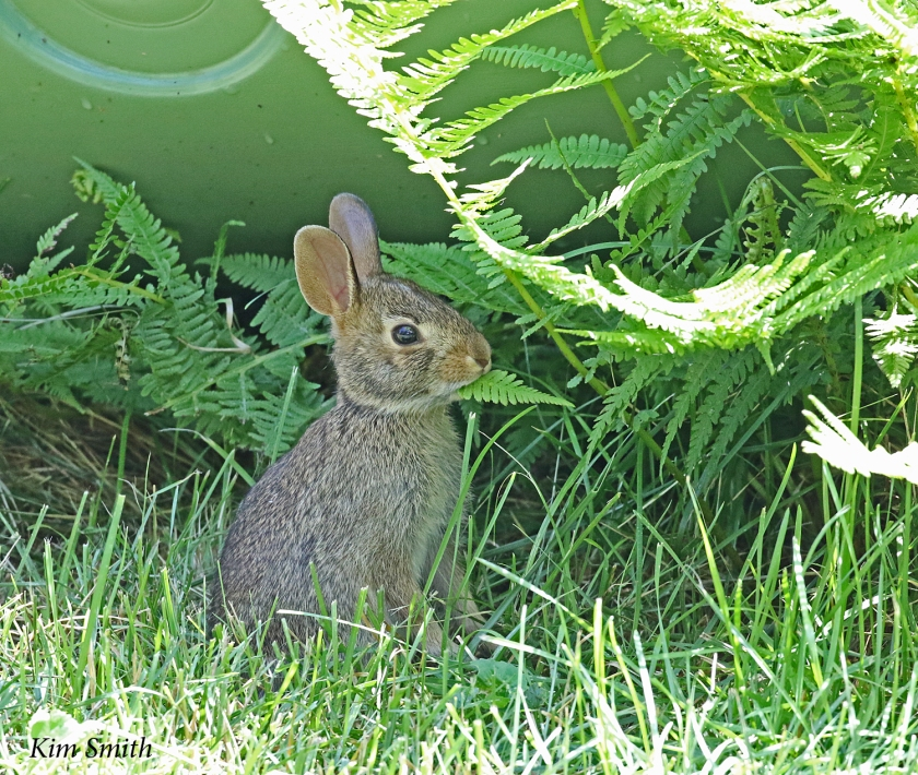 Young rabbit in my yard