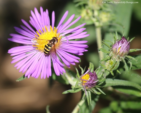 Hoverfly on NE aster w sig