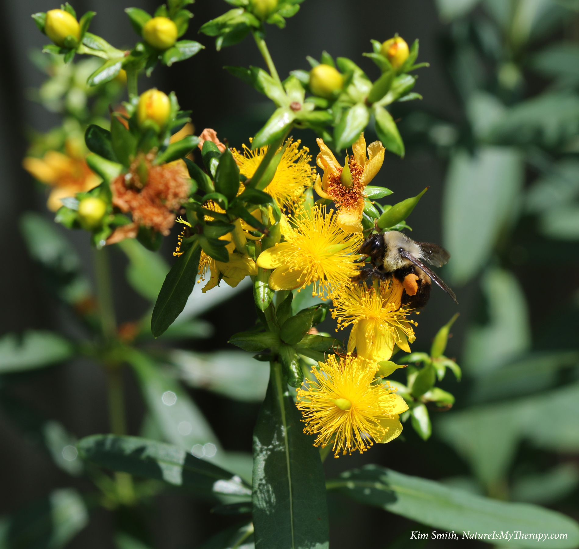 Shrubby st. john's wort with bumble bee