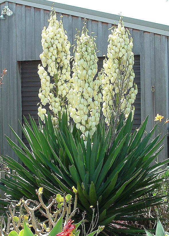 Yucca_filamentosa from Wikipedia